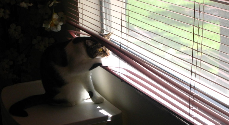 Cat looking through aluminum blinds in Kingsport.