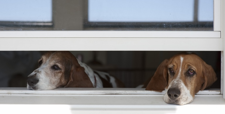 Dogs look out open window without window treatment in Kingsport.